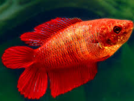 Betta Fish female crown tail Love