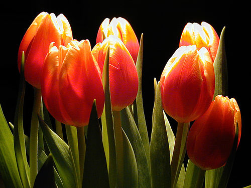 enjoy the fragrance of flowers what are the meanings of tulip flowers. Black Bedroom Furniture Sets. Home Design Ideas