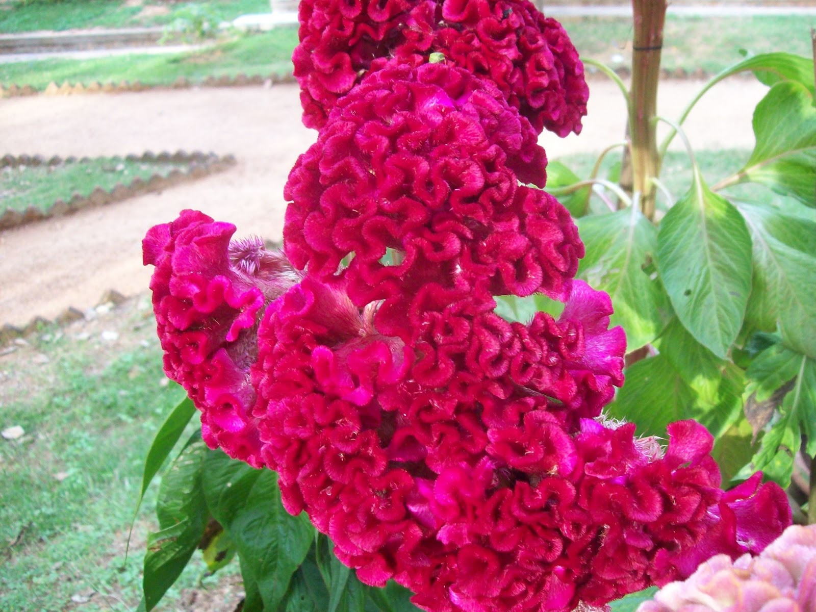 Gardentropics todays flowers this is my contribution to todays flowers which showcases beautiful flowers from all over the world izmirmasajfo Images