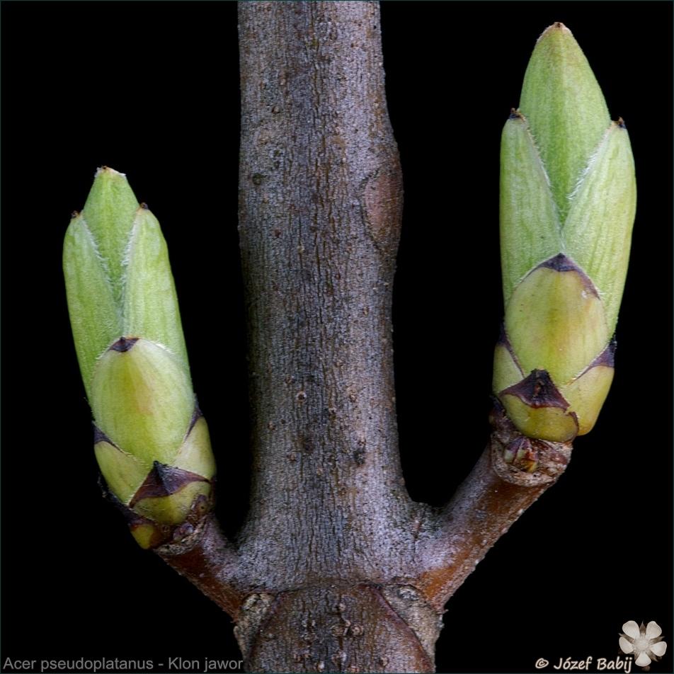 Acer pseudoplatanus - Klon jawor