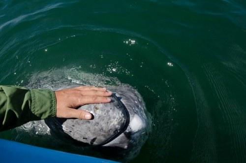 Keakraban Ikan Paus Dengan Manusia