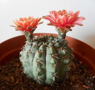 floración de cactus