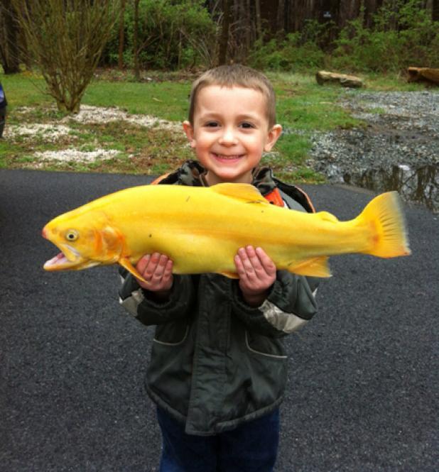 International Fishing News: USA: yellow palomino trout