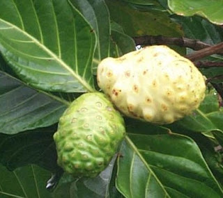 Noni fruit is present in the alternative medicine is widely used in the treatment of various diseases.