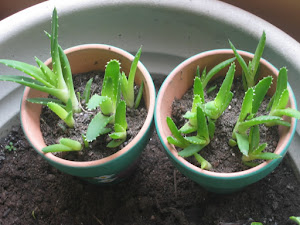 Aloe Vera Baby Plants in Pot