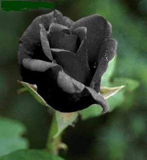 bunga ros hitam