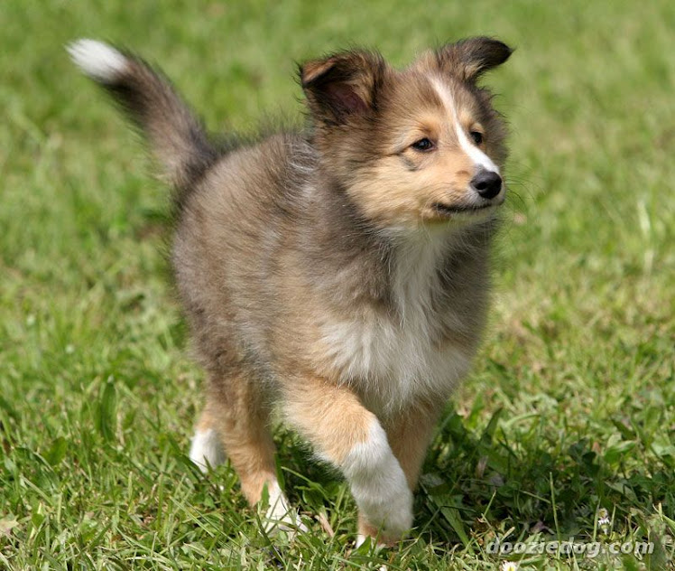 she wants a sheltie puppy