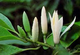 Sakit Maag Obati Dengan Kuncup Bunga Cempaka