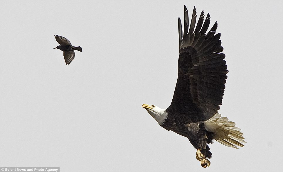 White Wolf Bald Eagle Chases Down And Catches A Starling