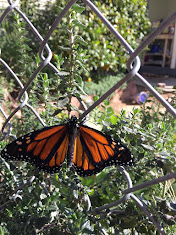 This Winter's Monarch