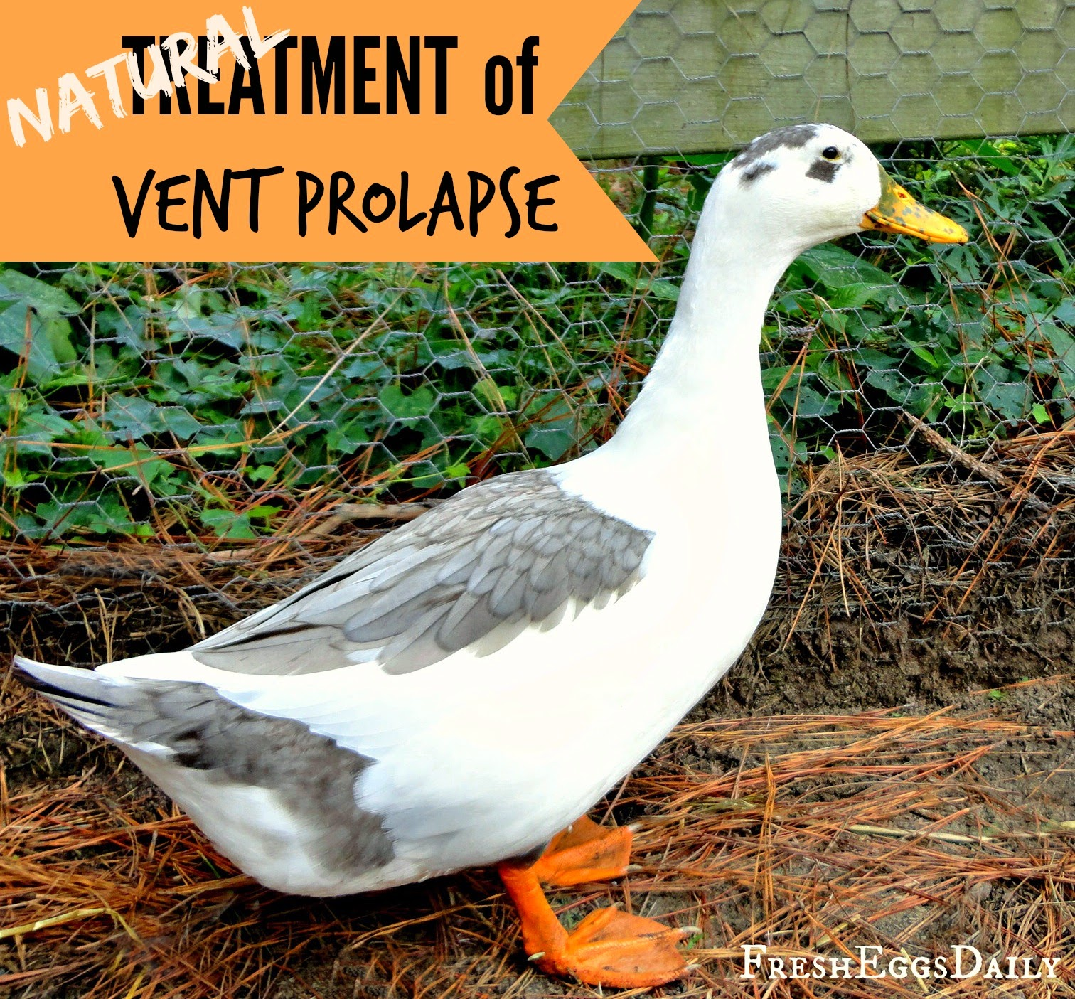 Chicken Vent Prolapse a Prolapsed Vent is a