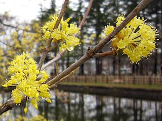 サンシュユの花とつぼみ