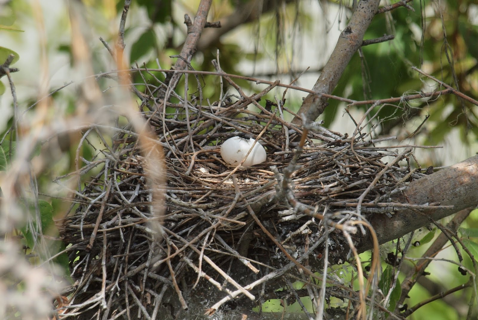 Mourning Dove Nest Looking for Mourning d...