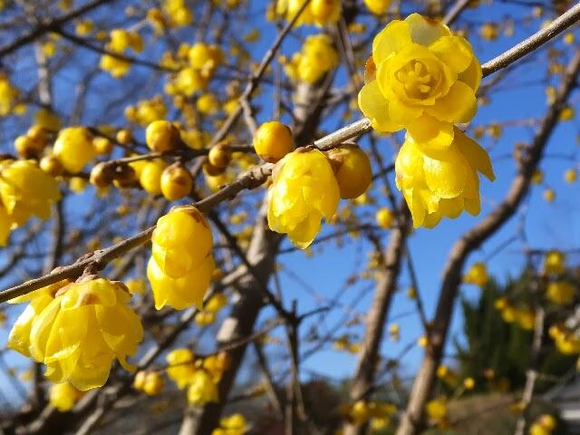 ソシンロウバイ(素心蝋梅)で園芸品種「満月ロウバイ」。