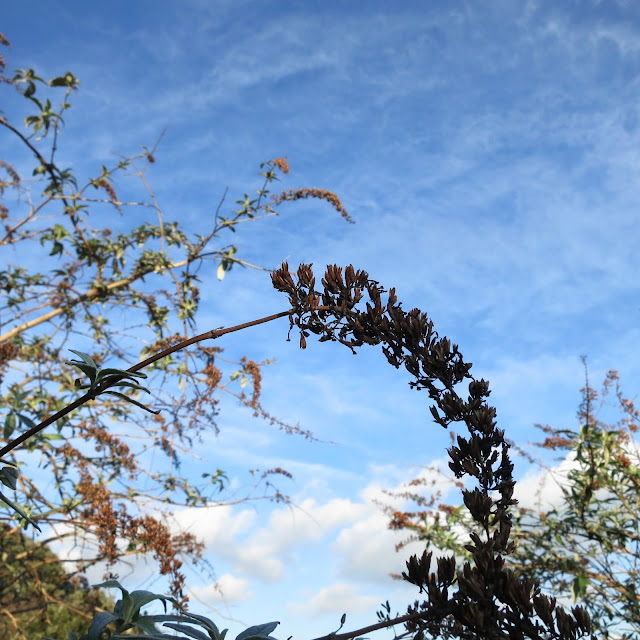 Dead and dry buddleia flower against blue sky.