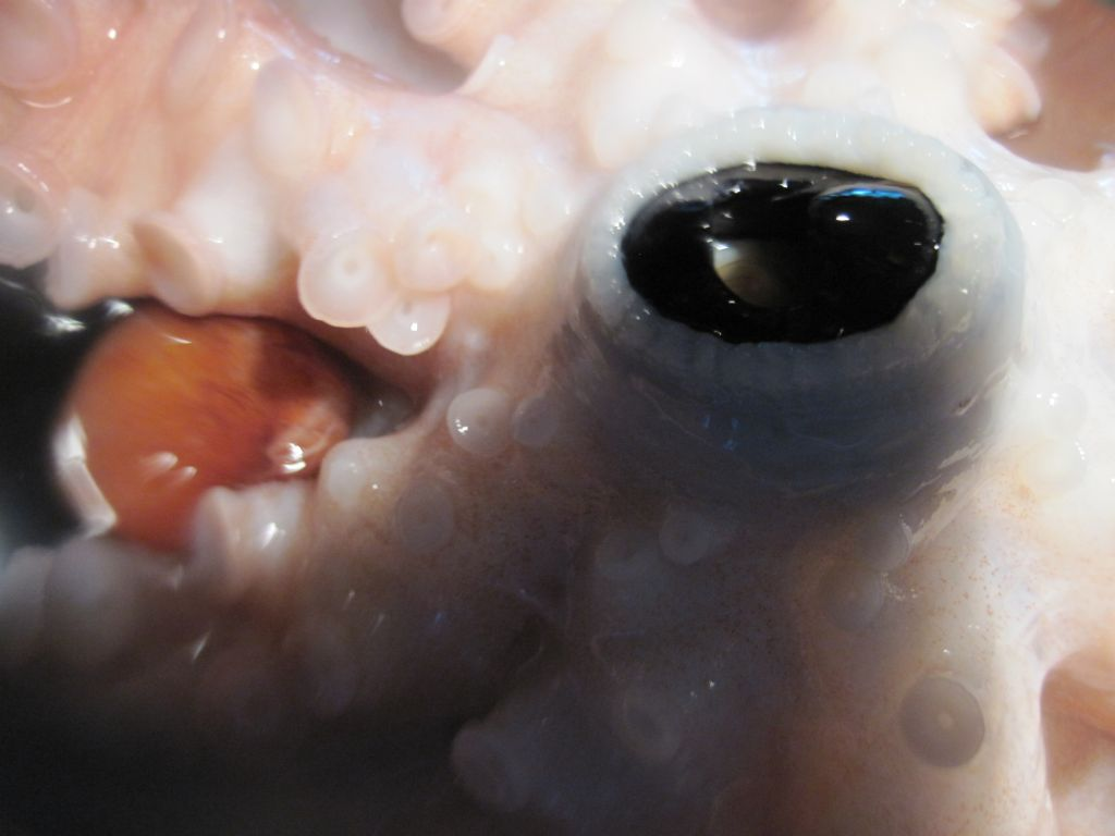 Octopus beak bite - photo#21