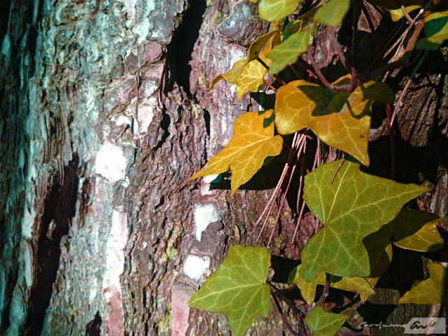 hojas arbol pino corteza texturas