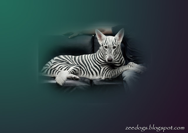 Zebra art of dog wallpaper