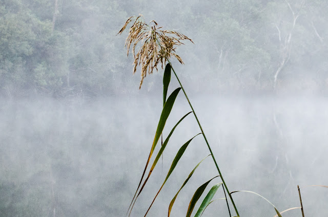reed and mist at glenelg river