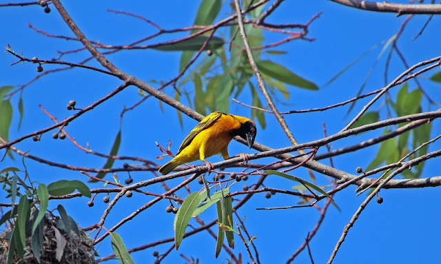 Village Weaver tree