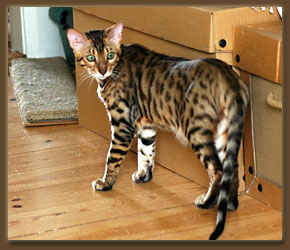 Male Bengal Cat Size high quality wallpaper
