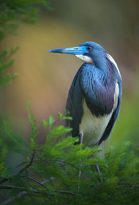 Ave azul del edn perdido - Beautiful paradise bird
