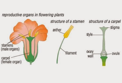 Sexual Reproduction in Plants, CBSE / NCERT Notes, Class 7