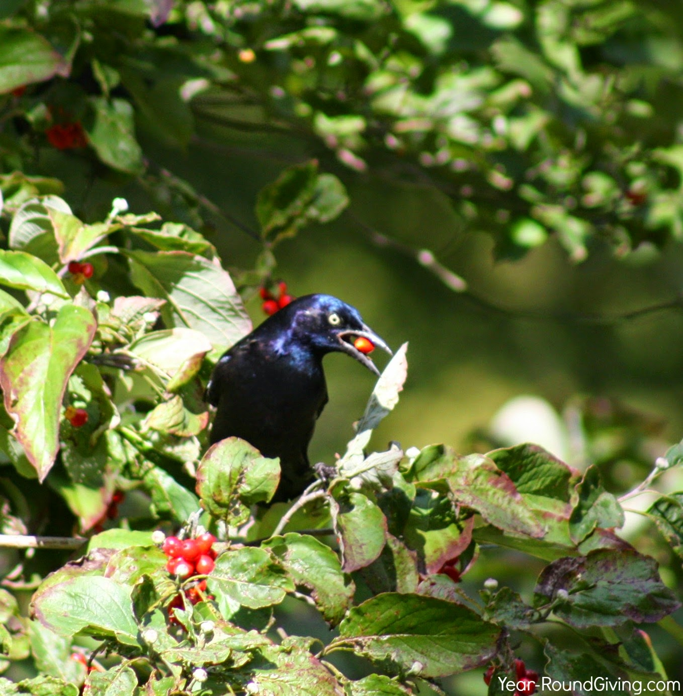 Common Grackle on a Dogwood