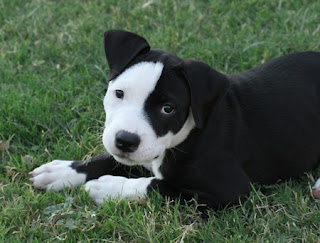 Pit Bull Puppy Picture