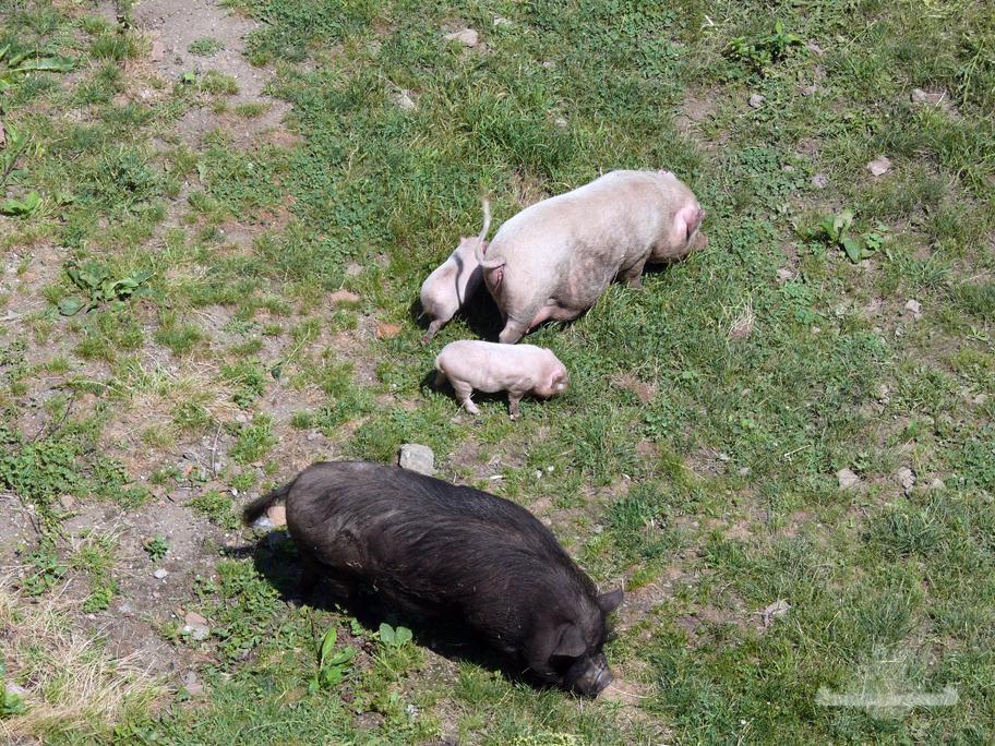 Schweine Riegersburg