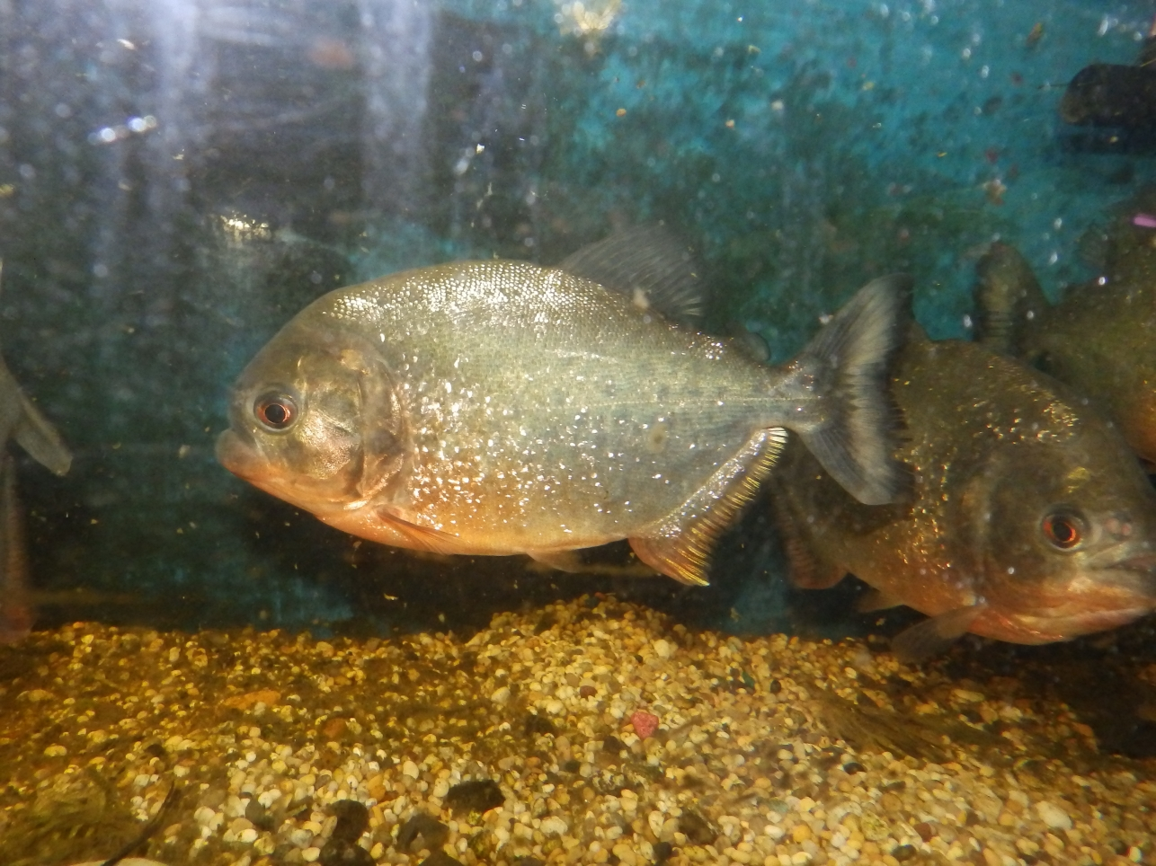 Reptiles amphibians fish red bellied piranha for Pictures of piranha fish