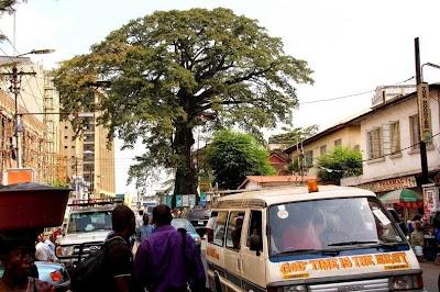 Pohon Kapas Tertua di Dunia Ada di Freetown, Afrika