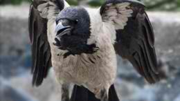 Bizarre 'Zombie Pigeons' Plague Moscow