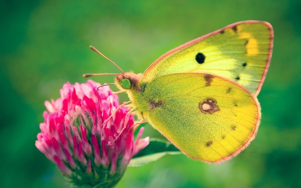 Colias Hyale Butterfly Images HD