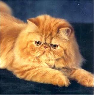 Gambar Kucing Persia Lucu 100014