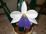orquidea de pet