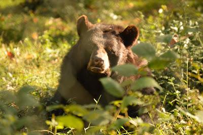Bears at Maymont
