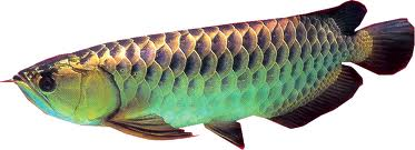 Anything Under The Sun Feng Shui And Arowana How To Gain
