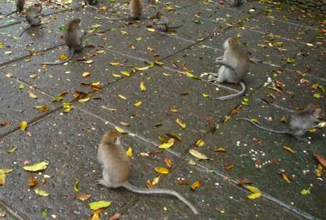 Long-tailed Monkey Forest Ubud
