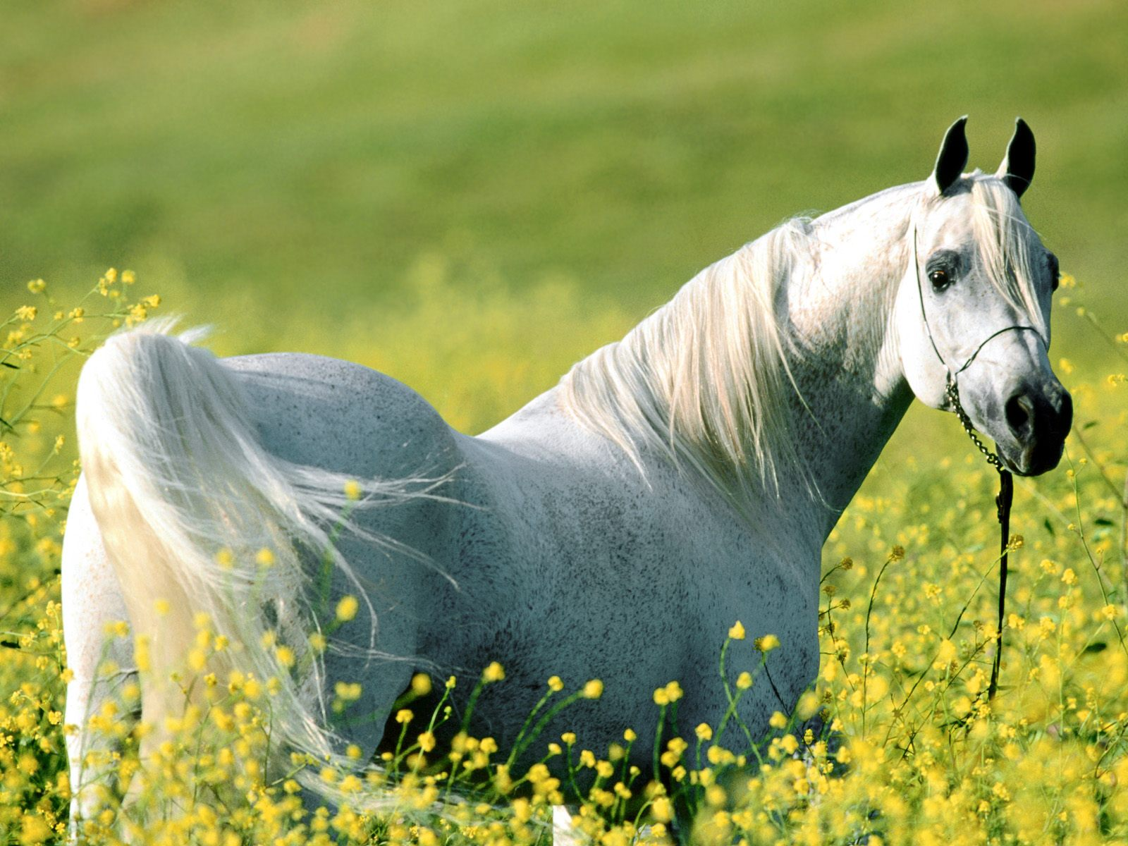 3d Beautiful White Horse Wallpaper Beautiful White Horse 11