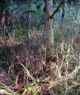 гриб около березы, красноголовик подосиновик
