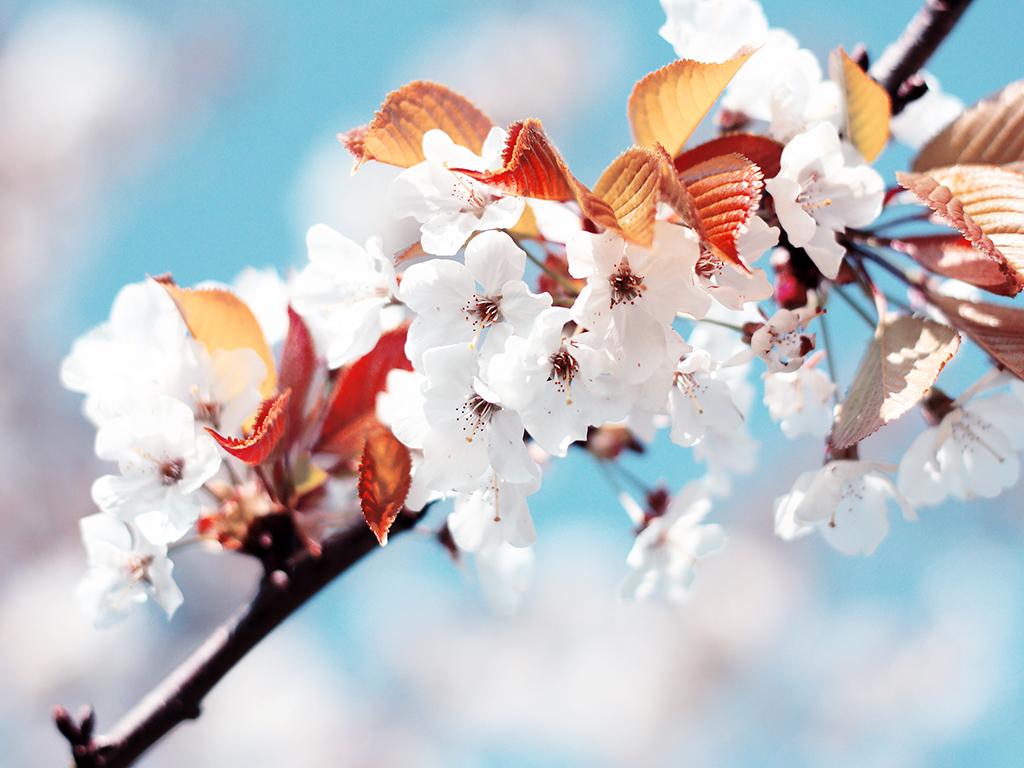 http://2.bp.blogspot.com/-eWUoaCT6wLA/TqFwEzYbEHI/AAAAAAAABBk/SuJrZ9GhgwM/s1600/02225_cherryflowers_1024x768.jpg