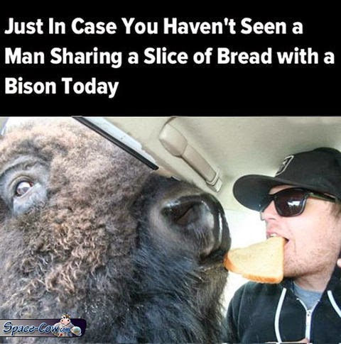 funny animals bison picture