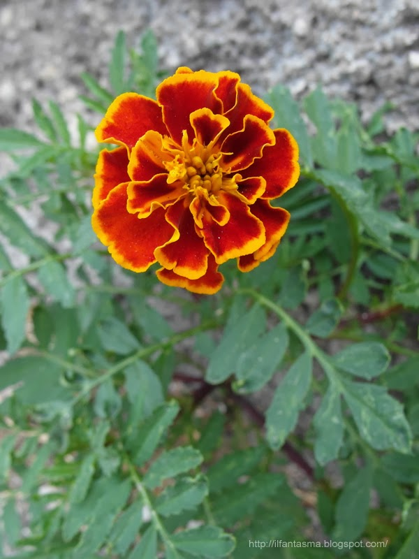 In nome dei fiori tagete o garofano indiano fiori rosso - Fiori a campanella rossi ...