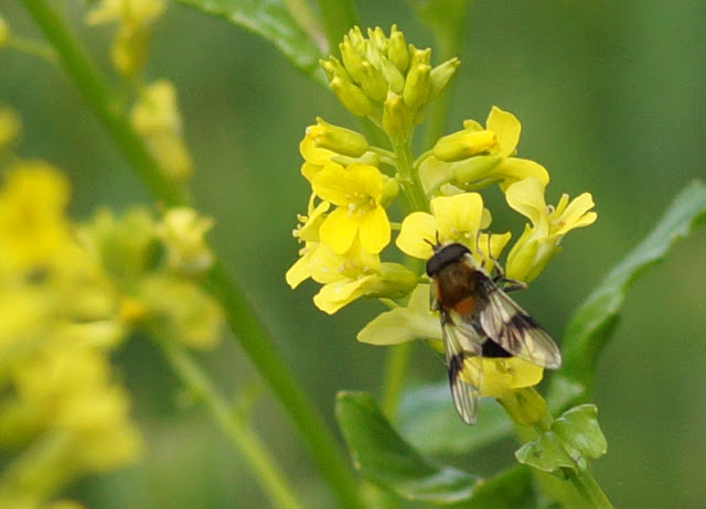 Bees on yellow bush