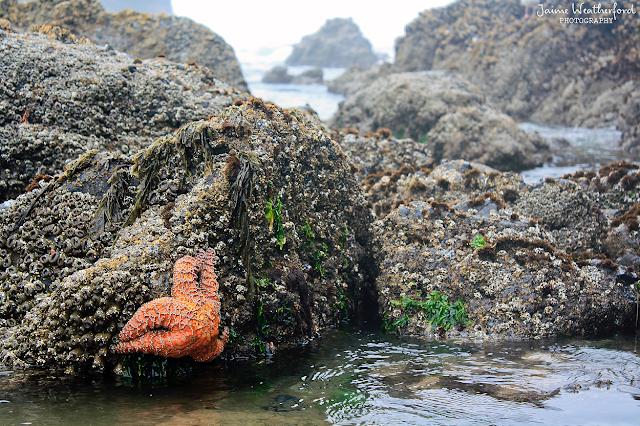 Cannon Beach Haystack rock starfish oregon coast tidepools Jaime Weatherford