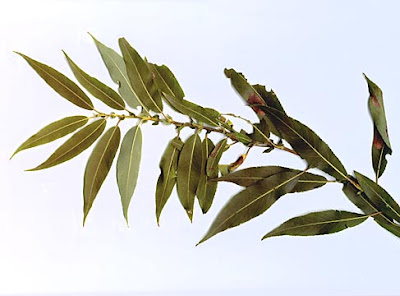 american trees sauce negro Salix nigra
