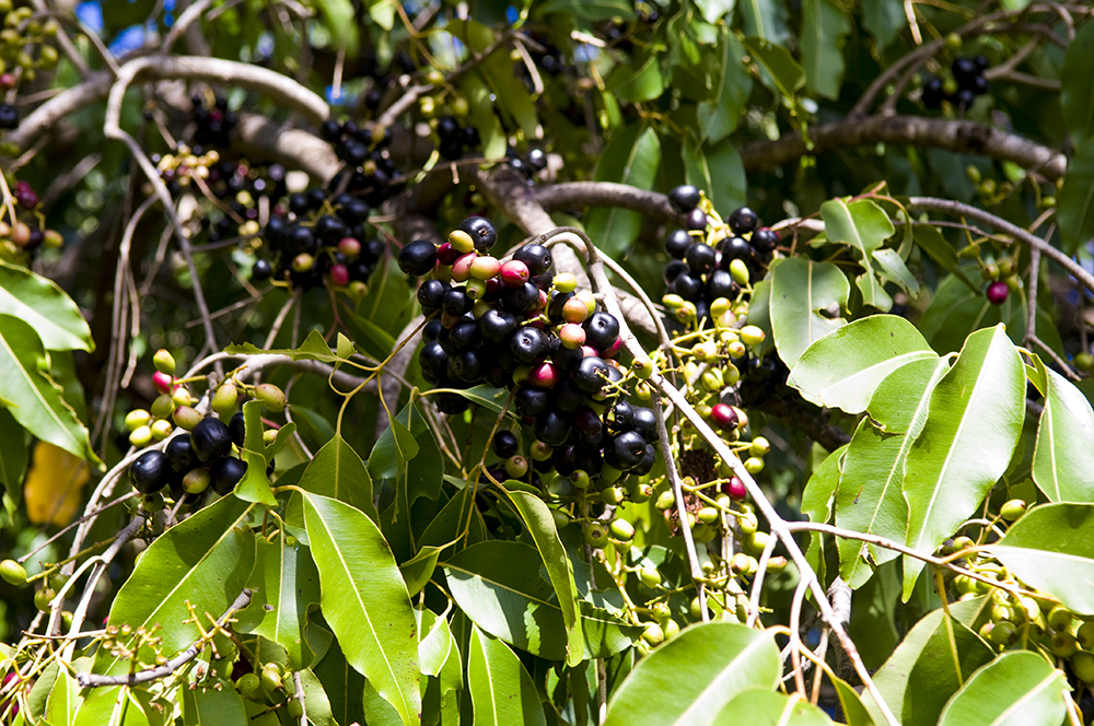 The 3 Foragers: Foraging for Wild, Natural, Organic Food ... Java Plum