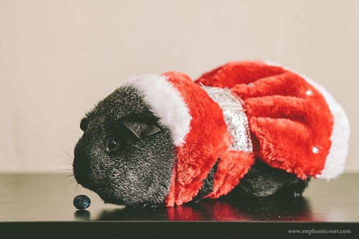 guinea-pig-christmas-outfit