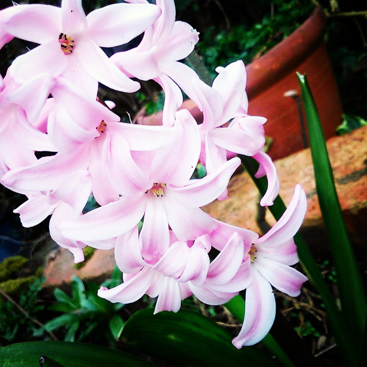 beautiful pale pink flowers in a british garden. Pink hyacinths.